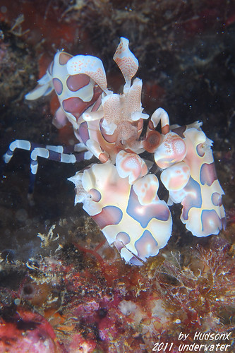 釉彩臘膜蝦 - Harlequin Shrimp(2)