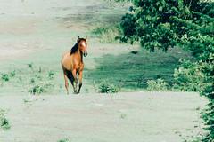 IMG_0900 (jjmanjarréz) Tags: animal animals vscofilm vsco vscocam green field campo caribecolombiano colombia animales canon canonphotography light caballo caballos horse