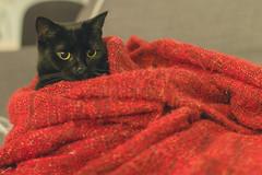 IMG_8128 (BalthasarLeopold) Tags: animal animals blackcat blackcats cat cateyes cats dephtoffield dof feline felines indoorcat kitten kittens leopold mammal pet pets