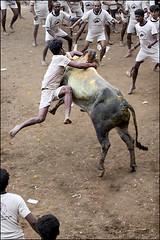 Hanging on ... (oochappan) Tags: travel india standing canon eos 2009 madurai tamil tamilnadu southindia dravidian canoneos5d oochappan ef70200mmf28lisusm jallikattu indianphotography palamedu tamilman img8665a tamillifeculture tamilmen tamilnadumen