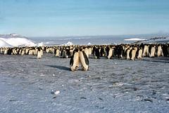 Manchot empereur (Steff One) Tags: penguin antarctica polar southpole antarctic manchot ddu polaire antarctique polesud pev dumontdurville manchotempereur paulemilevictor terreadelie manchotadelie