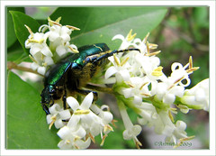 Green Beetle ( Annieta  Off / On) Tags: italy holiday color green nature june juni canon insect ilovenature vacances vakantie juin groen italia beetle natuur powershot piemonte s2is farbe insekt colori canonpowershots2is 2009 couleur allrightsreserved itali kever valledaosta valdaosta kleur naturesfinest cetoniaaurata aostavalley annieta aostadal natureselegantshots valledaosta usingthisphotowithoutpermissionisillegal