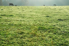 2009:11:02__07:47:14 (MilkaWay) Tags: mist grass fog morninglight cows pasture dew 365 2009 madisoncounty day306 aphotoaday ruralgeorgia neesecommerceroad p3652009
