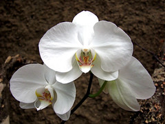 Orchidee (by_irma) Tags: white grancanaria phalaenopsis orchidaceae orchidee wit abigfave theunforgettablepictures unforgettablepicture orchideentuin palitospark