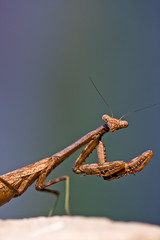 And I'm Not Afraid to Use Them (Ian Lacy) Tags: portrait macro nature canon bug mantis insect dof bokeh praying pre handheld manualfocus antenna prayingmantis 100mmmacro mandibles 40d canon40d studio414
