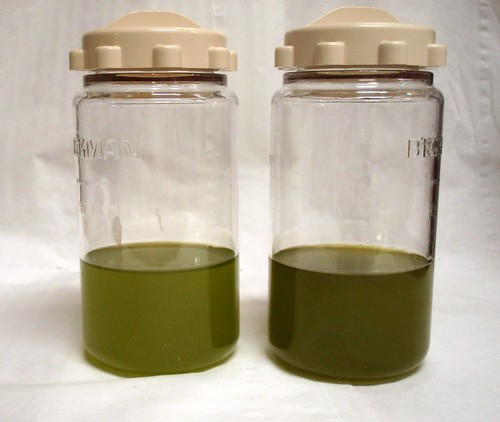 Young olive oils made from