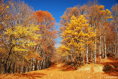 autumn in the Balkan ,     (.:: Maya ::.) Tags: bulgaria central balkan national park outdoor mountain autumn    yellow red orange tree beech woods nature landscape bulgarie bulgarien     mayakarkalicheva mayaeyecom  maya eye wwwmayaeyecom