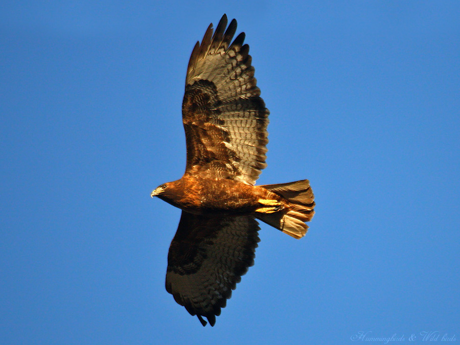 Red-tailed-Hawk-1109-9