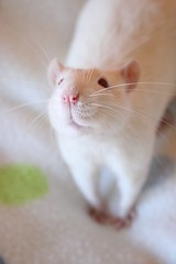 Linus' cute pose number 188368374 (Honey Pie!) Tags: cute nose rat linus moustache explore bigode albino lovely nariz redeyes fancyrat ratazana explored olhosvermelhos