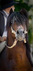 Impaciente el pingo (juanchivigil) Tags: horses argentina portraits caballos retratos campo gauchos tradicion paisanos sanantoniodeareco criollos canonef70200mmf4lusm plateria
