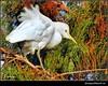 Egret in the Wind (ShacklefordPhotoArt) Tags: bird nature florida wetlands egret avian boyntonbeach cattleegret bubulcusibis colorphotoaward estremità
