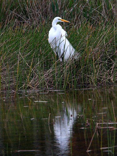 Egret with reflection 20091129
