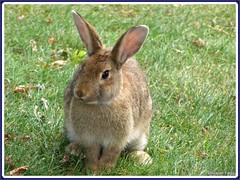 Brown rabbit (Isabel Fagg) Tags: pets rabbits isabelfagg