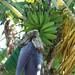 Baba figue - Ile de la Réunion