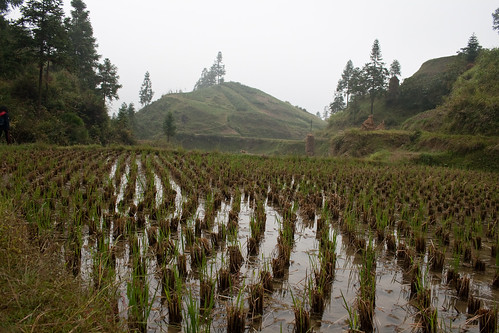 Rice Paddy (by niklausberger)
