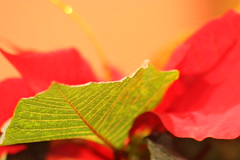 Poinsettia (Evangelio Gonzalez MD) Tags: canoneoskissx2 sigma70300dgmacrozoom