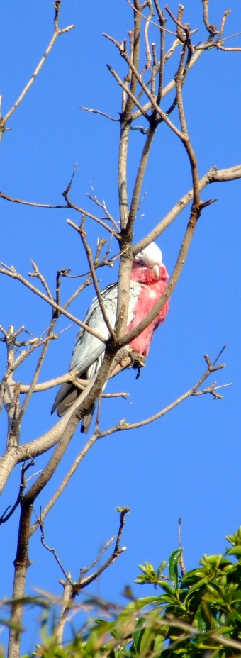 galah in tree 02