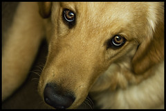 | .  . | (SOBPhotography) Tags: dog chien pet cane goldenretriever puppy golden eyes canine hond retriever perro hund brady k9