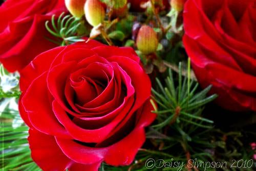 141 rose
