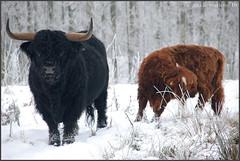 Schotse Hooglanders (Ankie Rusticus, I'm not much here) Tags: snow cows sneeuw friesland sneek burgemeesterrasterhofpark