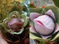 Audrey II Comparison (Jaime Margary) Tags: