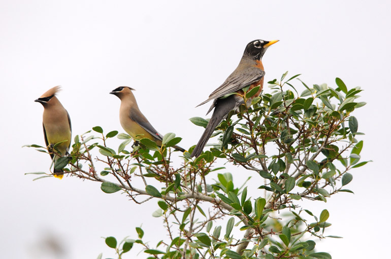 web_waxwingsrobins_perched_0048_2547