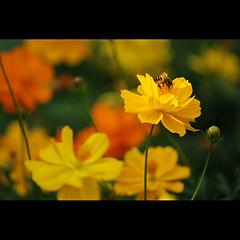(sash/ slash) Tags: life travel plant color tourism fly bangalore sash bee environment lalbagh floer sajesh