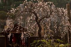 墓地とお地蔵さんと枝垂れ梅