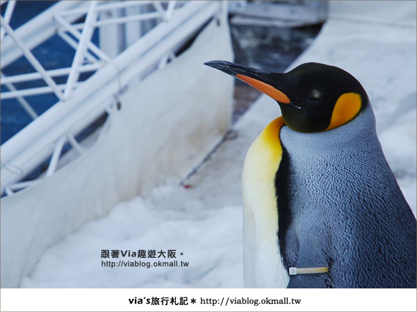 【via關西冬遊記】大阪海遊館~冬季限定!無敵可愛企鵝遊行來囉!6