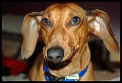 Oscar Mayer Frankenweenie (spayneutertech) Tags: cats pets dogs kitties doxies dachshunds minidachshunds dognationalities