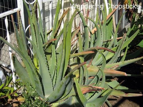 Sinh To Dam (Vietnamese Aloe Vera Shake) 2