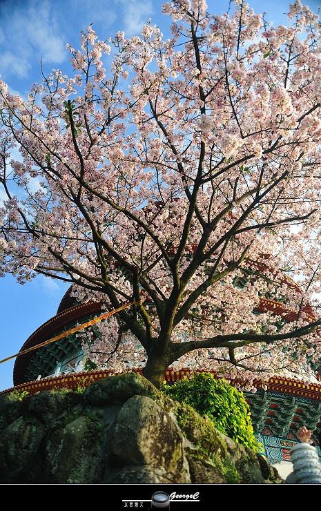 Sakura sunny 27