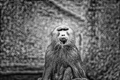 back from ages (Marc Hanauer) Tags: wild animal monkey nikon ancestor ape d200 singe sauvage ancêtre pixelicus marchanauer pixelikus httpwwwpixelicuscom