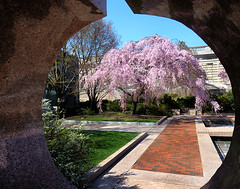 Cherry Blossom at the Castle (` Toshio ') Tags: pink flower tree brick nature grass mall cherry washingtondc smithsonian dc washington spring natural path blossoms perspective capitol national nationalmall bloom cherryblossoms cherrytree cherryblossomfestival smithsoniancastle toshio