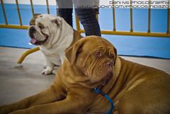 Expo canina IFEVI - 28-03-2010 (DNS Fotografía) Tags: dog expo minolta sony dani bulldog perro galicia 1750 konica 300 ingles alpha tamron pontevedra vigo exposicion maxxum dogo canina teis burdeos ifevi nidazo