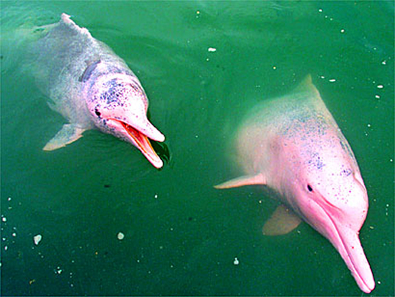 pinkDolphin-1-732357