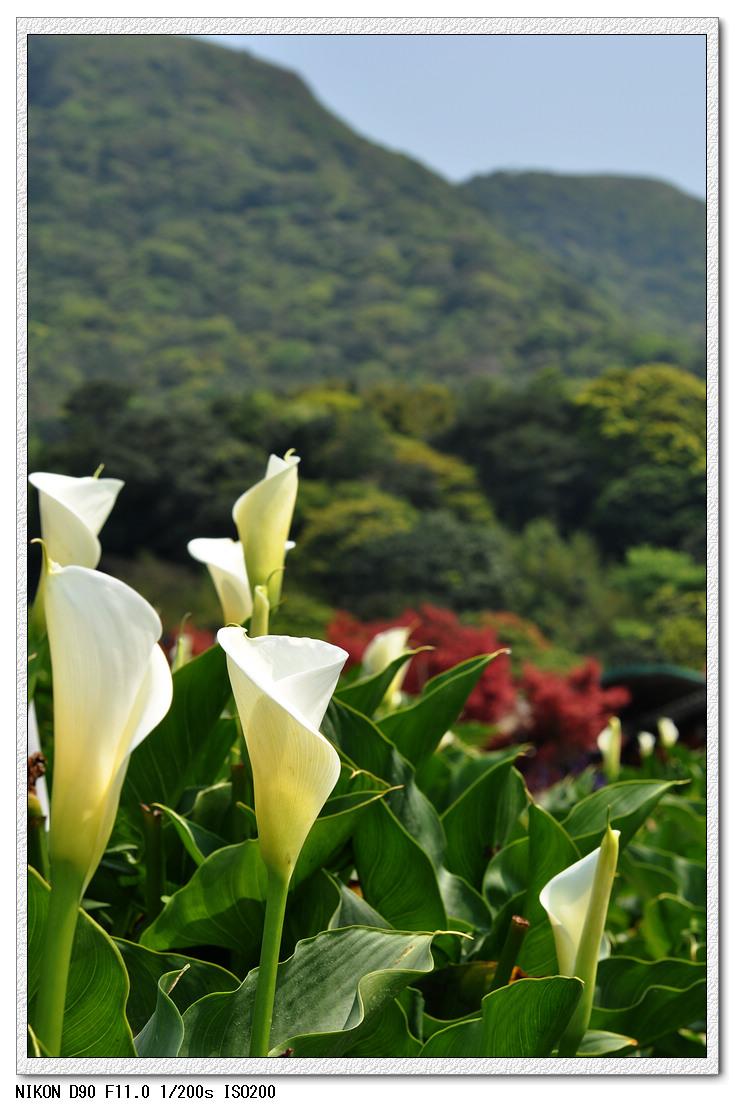 990331不能採花+破財的竹子湖