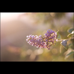 butterfly (ronallen66) Tags: plant nature backlight canon 50mm dusk naturallight butterflybush pps flowercluster perfectpurplesaturday