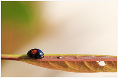 Leaving its mark (congaragata) Tags: macro ladybug tamronspaf180mmf35dildifmacro
