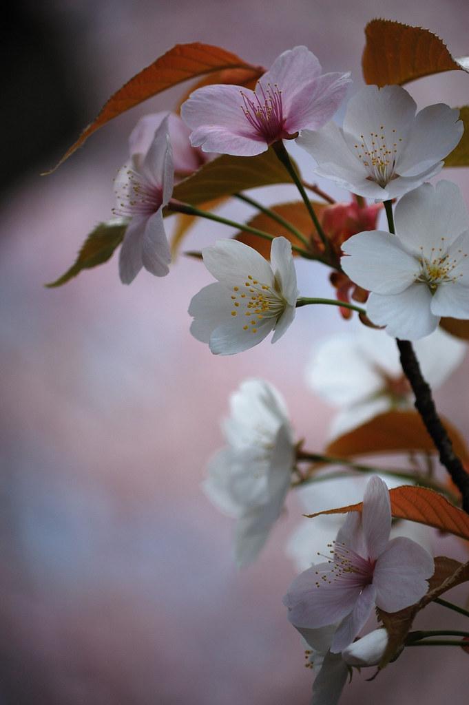 Sakura 2010 #26