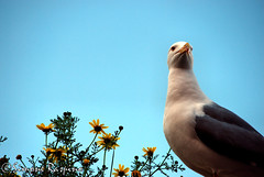 Johnatan Livingston (Winter Guest) Tags: seagull gull castello gaviota cagliari gabbiano mouette casteddu mowe viasantacroce casteddesusu thewonderfulworldofbirds