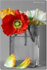 pavots (Barbara DALMAZZO-TEMPEL) Tags: flower macro fleur poppy bunch vase papaver pavot