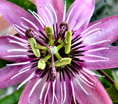 Pink Passion Flower (sunbeem - Irene) Tags: pink flower complexity passionflower brilliant wow1 greatphotographers amazingdetail