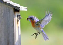 Bluebirds (Lindell Dillon) Tags: oklahoma nature birds bluebirds easternbluebirds lindelldillon