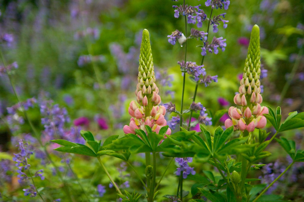 pink lupine  336