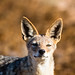 Black-backed Jackal | Skeleton Coast, Namibia