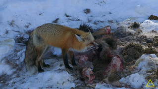 Winter Red Fox Eating Elk