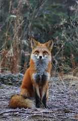 Sitten Pretty (Wolfhorn) Tags: red nature alaska wildlife fox wilderness vulpesvulpes rodrqius