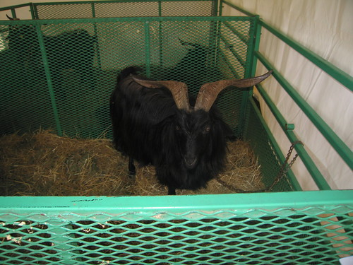 Duke the Cashmere Goat