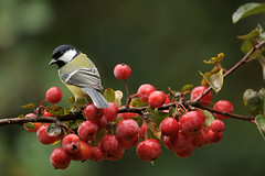 Great Tit (Parus major) (m. geven) Tags: autumn bird nature wet animal fruit herfst natuur nat raindrops common greattit avian parusmajor vogel songbird avifauna koolmees gelderland resident algemeen malus nld najaar regenbui zangvogel paridae kohlmeise sierappel nederlandthenetherlands mezen msangecharbonnire backsideview gardenbird specanimal tuinvogel avianexcellence achteraanzicht standvogel holenbroeder gemeentemontferland vruchtdragend